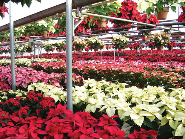Country Corner Greenhouse Poinsettia Extravaganza